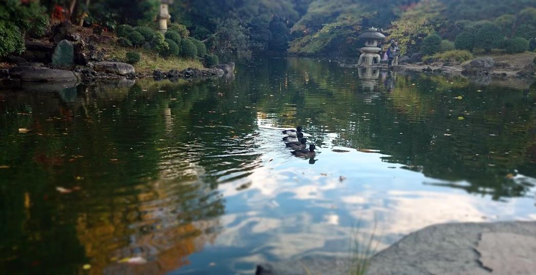 新宿御苑の鴨