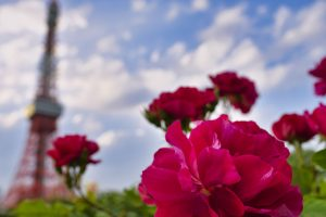 芝公園のバラ